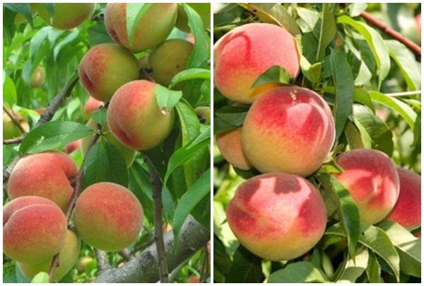 Tác dụng của quả đào và cách dùng quả đào trị bệnh hay chế biết đồ ăn