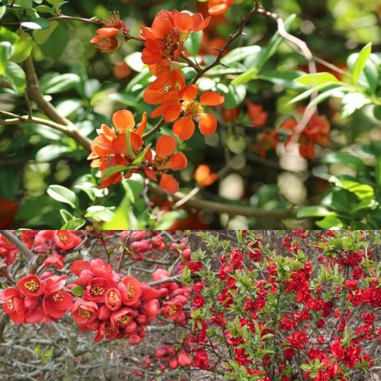 Hình ảnh hoa cây mộc qua