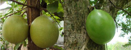 Quả trường sinh già, chín (trái) và quả trường sinh xanh (phải)