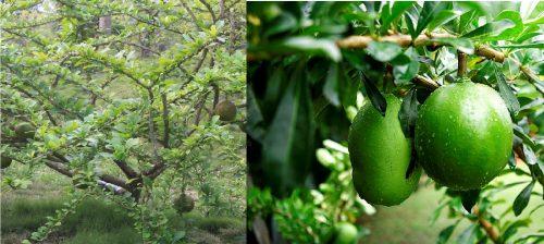 Hình ảnh quả trường sinh và cây trường sinh trong tự nhiên