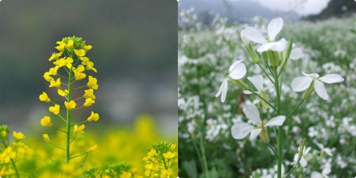 Hoa rau cải có màu vàng hoặc trắng, mùi thơm nhẹ