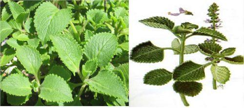 Thành phần dược chất cùng với đặc điểm của cây rau tần