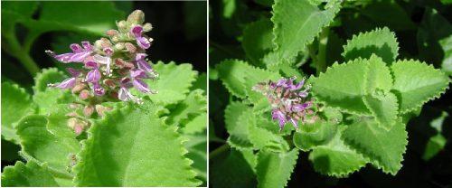 Hình ảnh hoa cây rau tần
