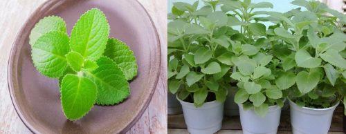 Rau tần được bán dưới dạng làm gia vị và cây trồng làm thuốc