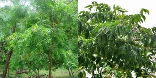 Hình ảnh cây sầu đâu trong tự nhiên
