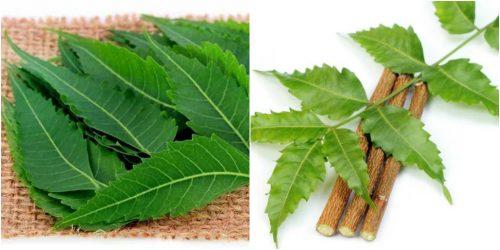 Tác dụng của lá sầu đâu điều trị bệnh huyết áp, chống viêm, kháng khuẩn