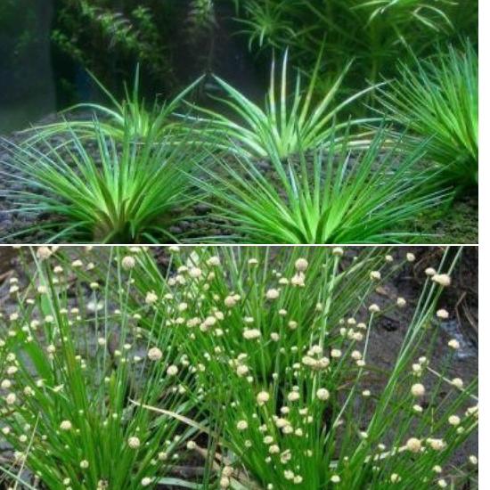 Tác dụng của cây cốc tinh thảo được Đông y đánh giá cao