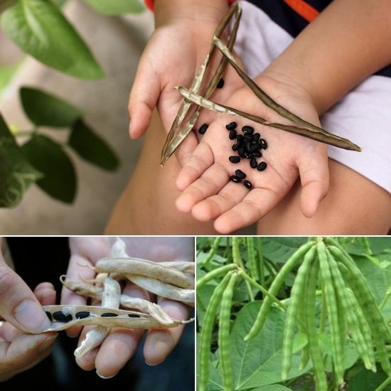 Công dụng chữa bệnh của đậu đen chủ yếu ở phần hạt