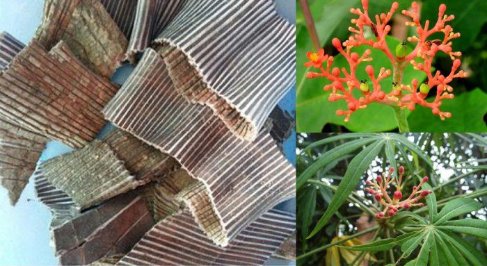 Đỗ trọng và tác dụng của cây đỗ trọng với cách dùng trị bệnh hiệu quả