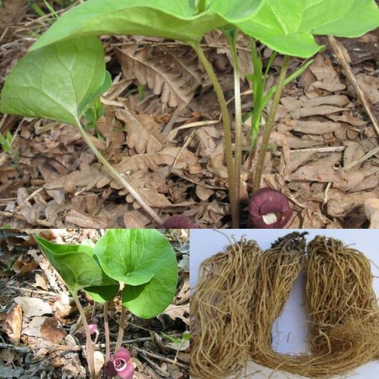 Tác dụng của cây tế tân là gì cách dùng ra sao và hình ảnh cây tế tân