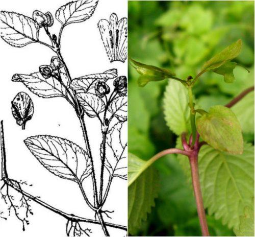 Tác dụng của cây thanh ngâm là gì và cách dùng cây thanh ngâm trị bệnh