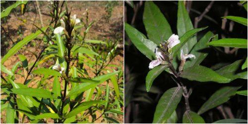 Hình ảnh cây thanh táo trong tự nhiên