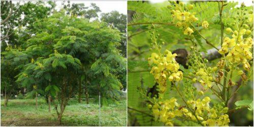 Hình ảnh cây tô mộc trong tự nhiên