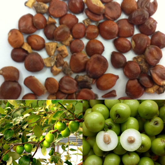 Đặc điểm cùng với thành phần dược chất của toan táo nhân