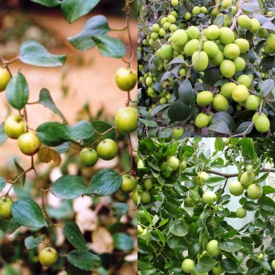 Toan táo nhân (táo nhân) là hạt của quả táo