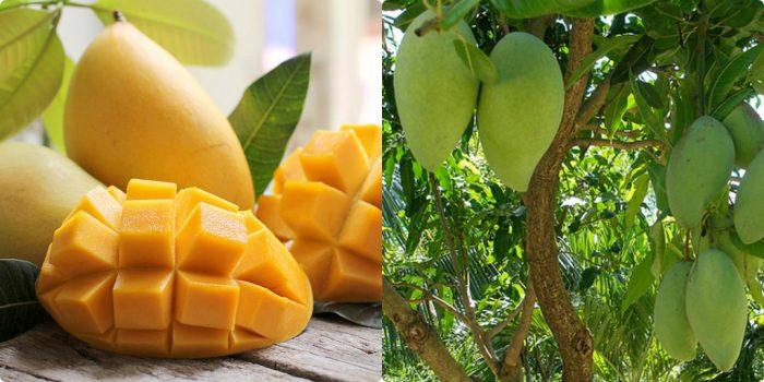 Xoài chín hoặc còn xanh đều là loại trái cây được nhiều người ưa thích