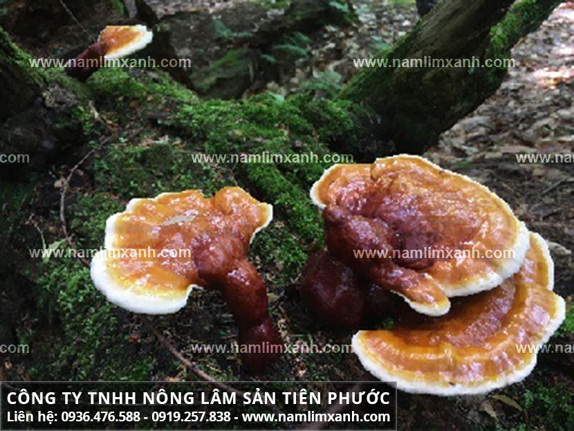 Cách phân biệt nấm lim xanh thật giả bằng hình ảnh cây nấm lim xanh