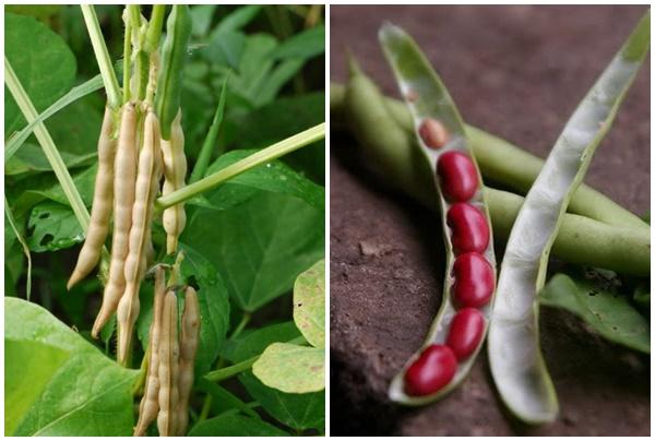 Hình ảnh quả đậu đỏ nhỏ khi còn tươi.