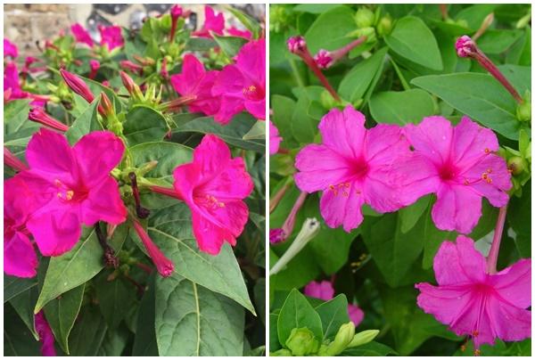 Hình ảnh cây hoa phấn.