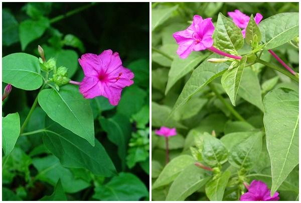 Hình ảnh cây hoa phấn chữa bệnh.