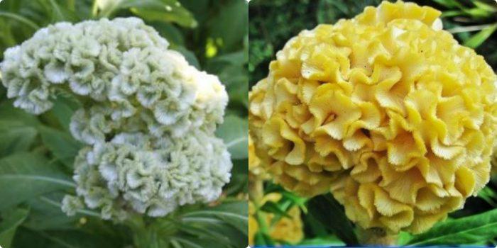 Kê quan hoa có rất nhiều loại như hoa mào gà trắng, vàng,...