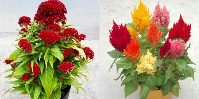 Kê quan hoa còn được trồng để làm cảnh ở nhiều nơi