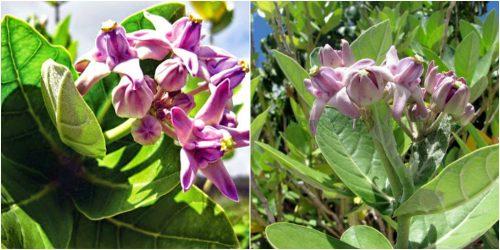 Tác dụng của cây lá hen chống viêm, ngăn chặn stress oxy hóa rất hiệu quả