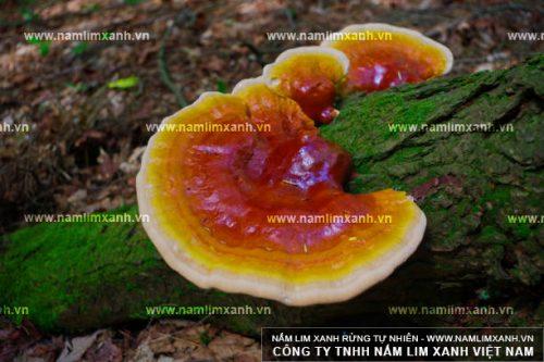 Hình ảnh nấm lim xanh rừng tự nhiên với giá bán nấm lim xanh bao nhiêu tiền?