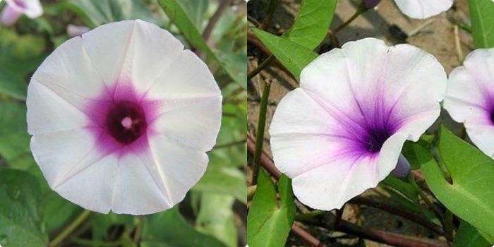 Hoa rau muống khá lớn, có màu trắng phớt tím