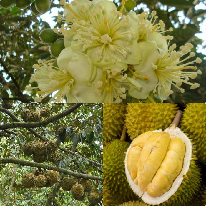 Hình ảnh cây sầu riêng trong tự nhiên
