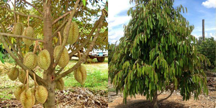 Sầu riêng là loại cây thân gỗ khá lớn, phân nhánh nhiều