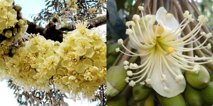 Hoa sầu riêng mọc thành từng chùm lớn, màu trắng hoặc vàng nhạt