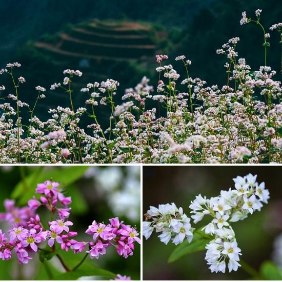 Hình ảnh hoa kiều mạch