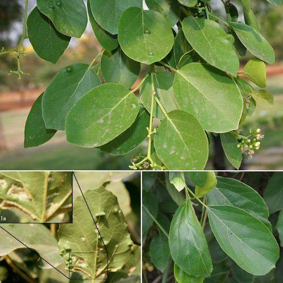 Công dụng của lá cây thiên đầu thống chữa mụn nhọt rất hiệu quả