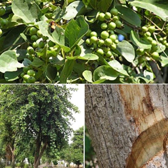 Hình ảnh cây thiên đầu thống trong tự nhiên rất dễ nhận biết