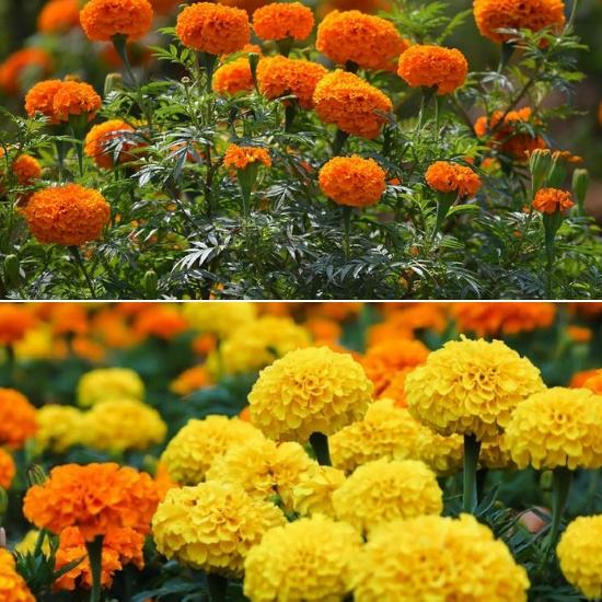 Hình ảnh hoa vạn thọ trong tự nhiên