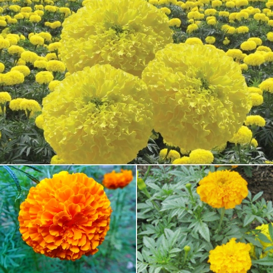 Công dụng của hoa vạn thọ tốt nhất là giúp bổ mắt, chữa ho và hen suyễn