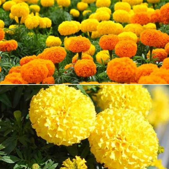 Cách sử dụng hoa vạn thọ chữa bệnh rất đơn giản nhưng vẫn mang lại hiệu quả tốt