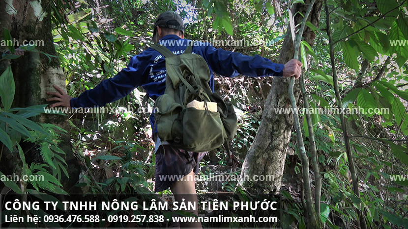Bán nấm lim xanh ở Đà Nẵng và địa chỉ bán nấm lim xanh ở Đà Nẵng uy tín