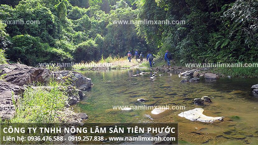 Bán nấm lim xanh ở TPHCM và nơi bán nấm lim xanh Tiên Phước ở TPHCM