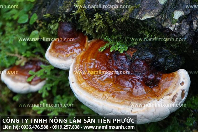 Bán nấm lim xanh tại Đà Nẵng có ở Công ty Nông lâm sản Tiên Phước