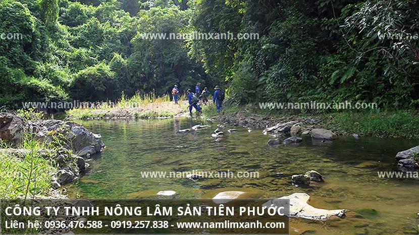 Bán nấm lim xanh tại Đà Nẵng và địa chỉ bán nấm lim xanh Đà Nẵng chính hãng