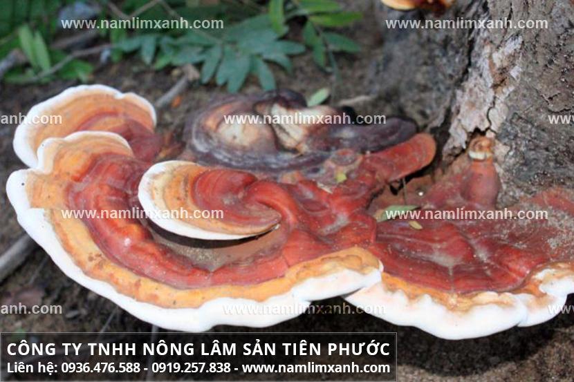 Các loại nấm lim xanh rừng và đặc điểm các loại nấm cây lim tự nhiên