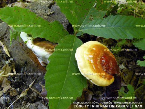 Hình ảnh nấm lim xanh rừng trong tự nhiên