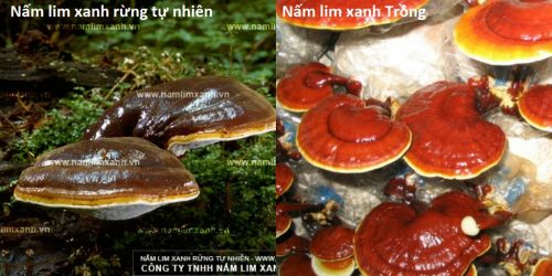 Cách nhận biết nấm lim xanh thật trong tự nhiên và các loại nấm gỗ lim