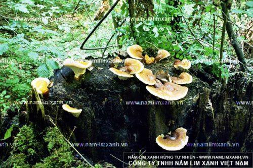 Nấm lim xanh rừng mọc trên cây lim xanh đã chết trong rừng nguyên sinh ở Việt Nam và Lào