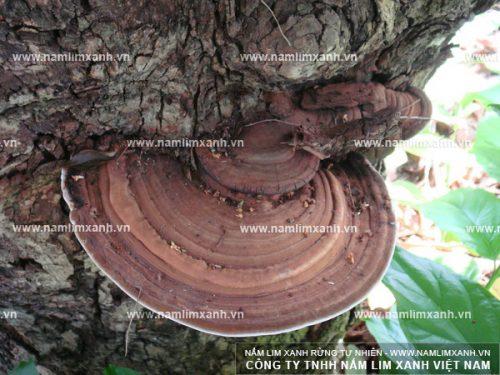 Hình ảnh nấm lim rừng tự nhiên loại 1