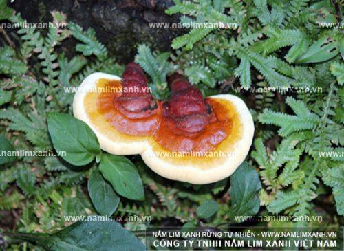 Hình ảnh nấm lim xanh Quảng Nam tự nhiên