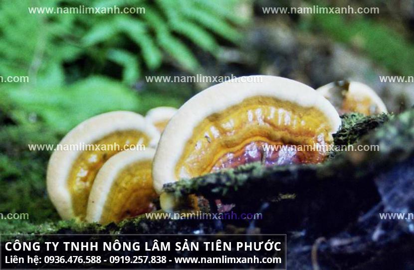 Cây nấm lim có đặc điểm gì và nấm lim xanh chữa bệnh ung thư gan