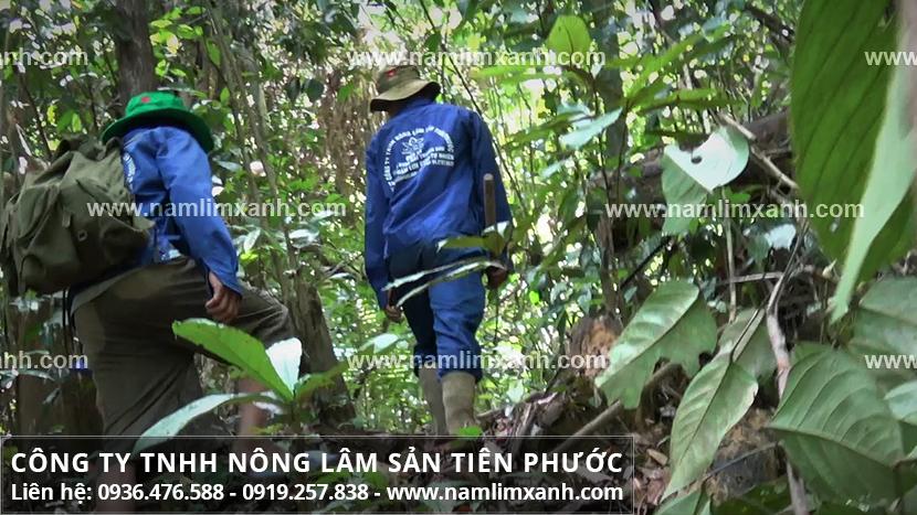 Công ty Nấm lim xanh Tiên Phước thu hái nấm lim ra sao và cách tìm nấm